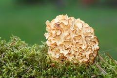 Sparassis Crispa - Cauliflower Fungus Royalty Free Stock Image