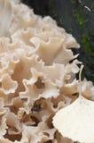 Sparassis crispa mushroom Royalty Free Stock Photo