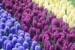 Sparat av blått-, lila- och vithyacinter arkivbild