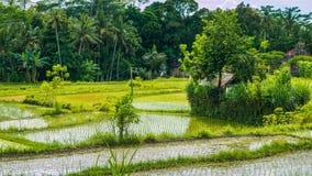 Sparat ris terrasserar mitt i djungeln, Bali, Indonesien arkivbilder