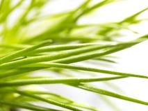 Sparato della erba cipollina con le gocce di acqua su  Immagini Stock Libere da Diritti