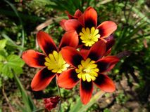 Sparaxis tricolor foto de stock royalty free
