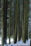 Sparboomstammen in het bos Stock Foto's