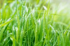 Sparckling regndroppar på nytt grönt gräs Naturlig bakgrund Arkivfoton