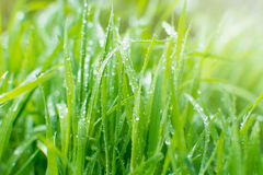 Sparcklings-Regentropfen auf frischem grünem Gras Natürlicher Hintergrund Stockfotos
