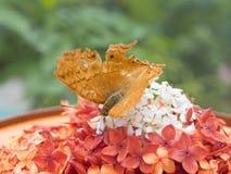 Sparen Downloadvoorproef een gouden bruine vlinder in de vlindertuin van het Mooie Miniatuurpark van Indonesië Stock Afbeelding