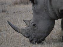Witte Rinoceros Royalty-vrije Stock Fotografie