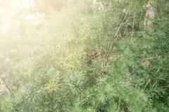 Spargel densiflorus, das Baumstamm Topiary mit Laub bedeckt, ist sein kurzer Stamm Gerade oder gebogene Niederlassungen unten hän lizenzfreies stockfoto