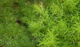 Spargel Racemosus Willd Stockbild