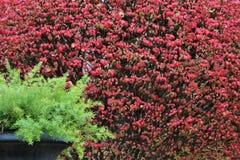 Spargelfarn im schwarzen Topf vor Herbstrotlaub Lizenzfreies Stockfoto