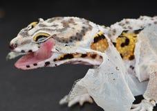 Spargimento del geco del leopardo che lecca la pelle sciolta sul suo fronte immagini stock libere da diritti