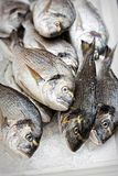 Sparidae Sea bream on fish market.  stock photography