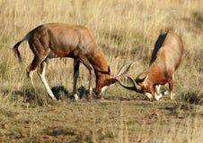 Sparing Male Bontebok Stock Image