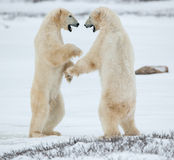 Sparing polar bears. Fighting Polar bears (Ursus maritimus ) on the snow. Arctic tundra. Two polar bears play fighting. Polar bears fighting on snow have got Stock Images