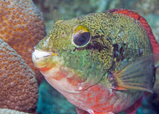 Sparisoma aurofrenatum, common names the redband parrotfish Stock Photography