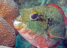 Sparisoma aurofrenatum, common names the redband parrotfish Stock Photography