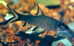 spark för bollbarbusmelanopterus till Royaltyfria Foton