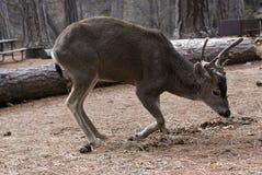 sparka bakut hjortar som lägger mulen Royaltyfria Bilder