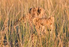 Cheetah Brothers Stock Images