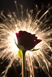 Sparkle rose. Rose in front of starlite Stock Photos