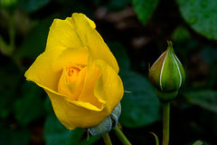 Sparkle and Shine Bud. Sparkly and Shine variety, yellow Rose flower, with bud, blurred background Stock Photo