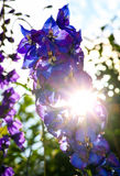 Sparkle sun rays push through Delphinium Blue Flowers Royalty Free Stock Photos