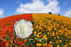 Sparkling dew on snow-white petals of a flower. A field of blossoming yellow and orange buttercups Stock Images