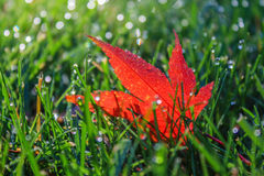 Sparkling Dewdrops On Blades of  Grass Surround Glowing Red Leaf. Close-up of single red Japanese Maple leaf nestled in the green grass surrounded by sparkling Royalty Free Stock Images