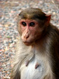 Sparkling Eyes. A monkey from the wild with sparkling eyes Stock Photography