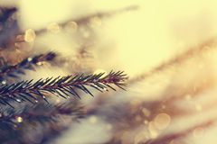 Sparkling ice drops on fir-tree branches. Royalty Free Stock Photo