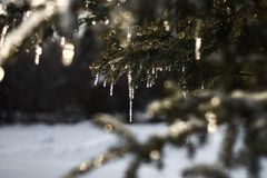Sparkling Icicles on Northern Evergreen Tree Stock Image