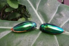 Jewel beetle brooch on green leaf in the garden