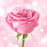 Sparkling pink rose on background. Rink rose on shining backgroud, square format stock photo
