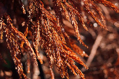 Sparkling Red Fir Tree Stock Photos