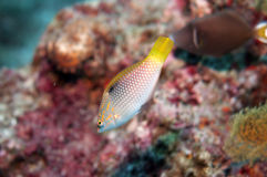 Sparkling small yellow coral fish Stock Photo