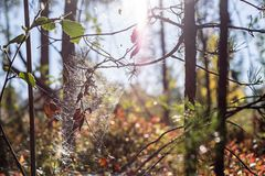 Sparkling spiderweb hangs on dry branches Royalty Free Stock Photography