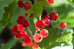 Sparkling in summer sun bunch ripe juicy red currant berries, ha Royalty Free Stock Photography
