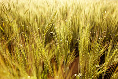 Sparkling in the sun and ears of wheat Stock Image