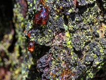 Sparkling sunlight in red resin drop at gum tree bark. Details of a gum tree bark with the viscous substance of resin extruding - the sunlight sparkles in it royalty free stock photo