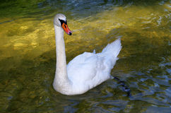 Sparkling Swan Royalty Free Stock Images