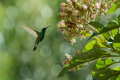 Sparkling violet-ear, Colibri coruscans, hovering next to flower, bird from high altitudes, machu picchu, peru. Beautiful medium size hummingbird sucking stock images