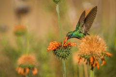 Sparkling violet-ear, Colibri coruscans, hovering next to orange flower, bird from high altitudes, machu picchu. Peru beautiful medium size hummingbird sucking stock image