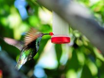Sparkling violet ear hummingbird Stock Photography