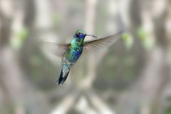 Sparkling Violet-ear Hummingbird Stock Photos