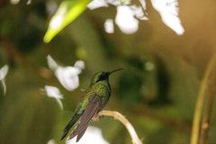 Sparkling violet ear hummingbird Colibri coruscans stock images