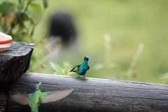 Sparkling violetears on a fence post in the Antisana Ecological Reserve. Sparkling violetear - Colibri coruscans - hummingbirds on a fence on a rainy day in the Stock Photos