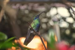 Sparkling violetear, Colibri coruscans, a species of hummingbird showing blue belly patch. Sparkling violetear, Colibri coruscans is a species of hummingbird stock photography
