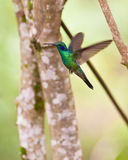 Sparkling Violetear in flight Stock Images