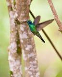 Sparkling Violetear in flight. A Sparkling Violetear Hummingbird (Colibri coruscans) shows it's skills in hovering flight Stock Images