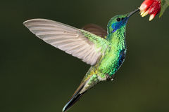 Sparkling Violetear. In hover sipping from flowers, Venezuela Royalty Free Stock Photography